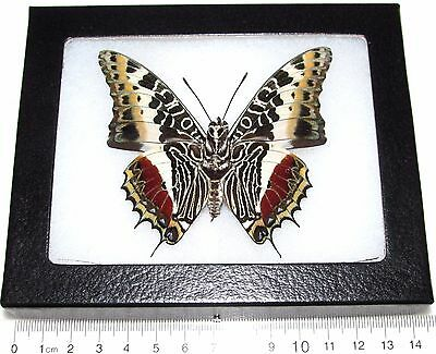 Real Framed Butterfly Charaxes Castor Verso