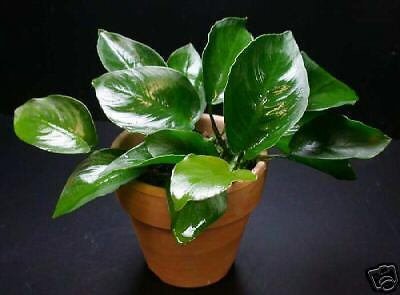 Anubias broad leaf (FREE Ship!) Live Aquarium Plant INV