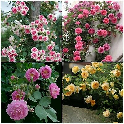 100/400pcs Pink Chinese Lovely rose seeds Beautiful flower and easy to grow