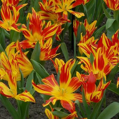 10 x Bulbs. Bayside Flame Lily Tulip. A real eyecatcher