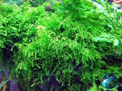 Weeping  Moss- Live Plant for Glass Aquarium Fish Tank