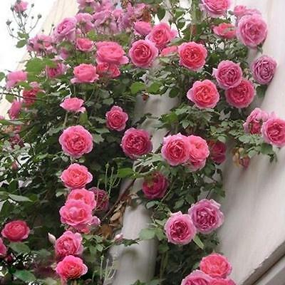 100pcs Rose Red Climbing Rose Seeds Perennial Flower Garden Decor F77