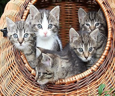 Baby Tiger Kittens In A Basket Computer Mouse Pad  9 X 7