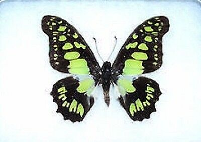 One Real Butterfly Green Graphium Tyndareus Papered Unmounted Wings Closed
