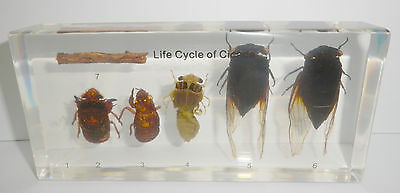 Black Cicada Life Cycle Set Cryptotympana pustulata Insect Specimen Teaching Aid
