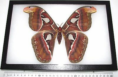 Real Framed Saturn Moth Attacus Atlas Female Saturniidae Indonesia
