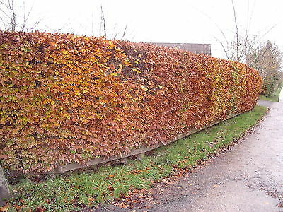 20 Green Beech Hedging Plants 2-3 ft Fagus Sylvatica Trees,Brown Winter Leaves