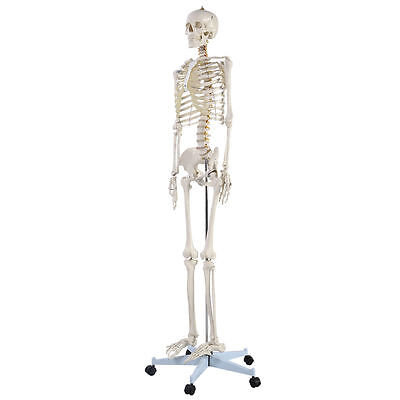 Complete Life Size Anatomical Human Skeletal System Skeleton Bones Model Diagram