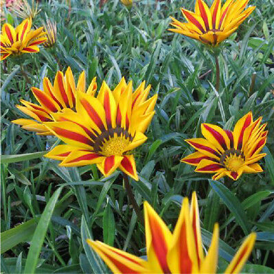 10 Gazania Big Kiss Yellow Flame flowering plants cottage border ground cover