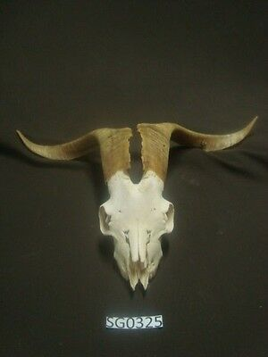 Nice goat skull hill country outdoors wildlife taxidermy SG0325