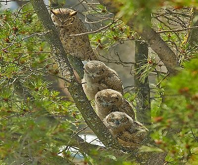 Great Horned Owl Mother And Babies Computer Mouse Pad 9 X 7