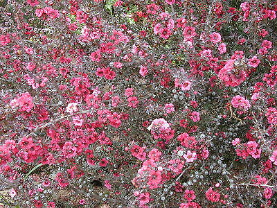 Leptospermum scoparium NEW ZEALAND TEA TREE Seeds!