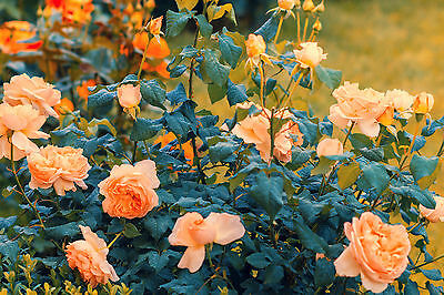 'Gloire de Dijon' Subtle Fragranced Climbing Rose,Buff Yellow, Old Favourite