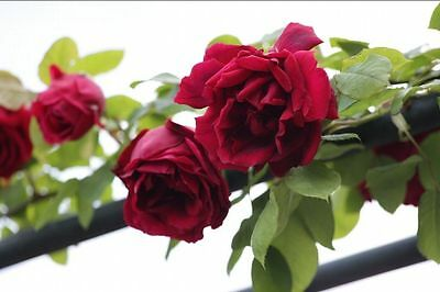 'Crimson Glory'Climbing Rose Beautifully Scented Massed With Velvet Red Flowers