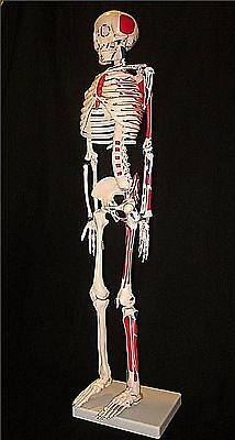 33-1/2 in 1st Quality Human Anatomical Painted Muscle Skeleton Model with STAND