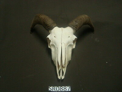 Nice clean ram skull hill country outdoors SR0887
