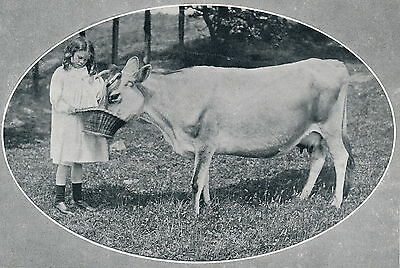 Original 1906 Old Antique Print Portrait Victorian Child Girl Feeds Jersey Cow