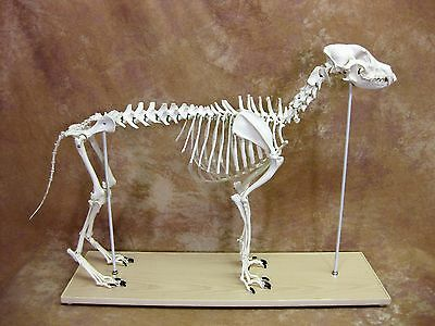 Canine Skeleton Model  LARGE SIZE LFA #2016 Dog **