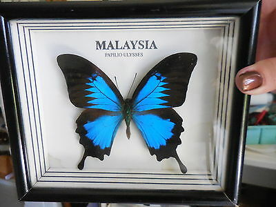 Real Papilio Ulysses Butterfly From Malaysia - Mounted & Framed