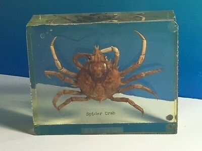 Real Spider Crab Fossil Crustacean Shellfish Marine Collectible Science Animal