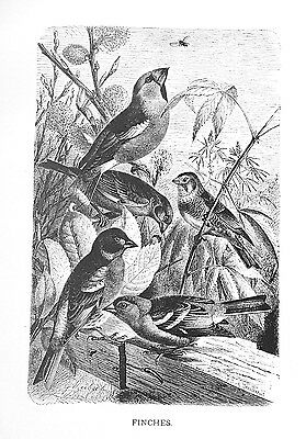 1885 FINCHES J.G.Wood/NICE BW Antiquarian BIRD PRINT L@@K!