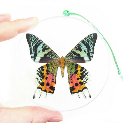 Real Green Madagascar Sunset Moth Butterfly Christmas Ornament Ball Round Gift
