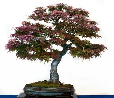 Acer palmatum (Japanese Maple) Large/Trade Packet - 100 seeds