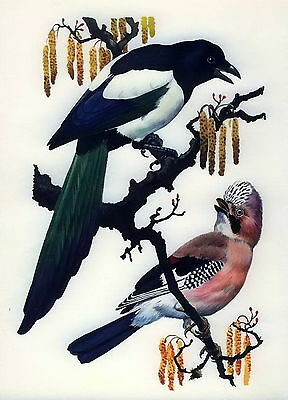 Old vintage  TUNNICLIFFE LIthograph art Print Bird Magpie & Eurasian Jay