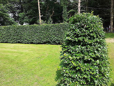 12 Green Beech 6-7ft Instant Hedging Trees,Copper Winter Colours.All Year Cover
