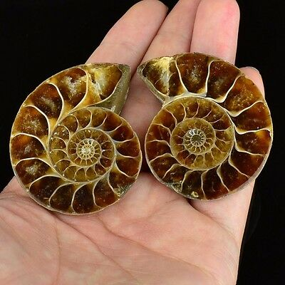 L13142 A pair Ammonite ammolite UNIQUE Natural fossil decoration 50g