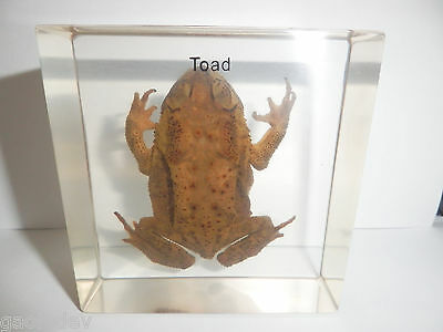Adult Toad Specimen - Asiatic Toad (Bufo gargarizans) Clear Lucite Paperweight