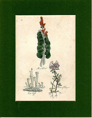 Antique Wild Flower Prints - Moon Wort, Cup Moss And Mother Of Thyme  (1809)