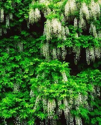 Wisteria sinensis alba (Chinese Wisteria) - 10 seeds. RHS Award Winning Climber