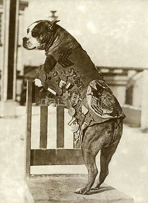 US Army World War 1 Dog Sergeant Stubby 1920 American 7x5 Inch Reprint Photo