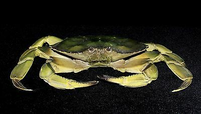 Large Life Size Taxidermy Replica Green Crab Very Realistic Heavy Cast Plastic