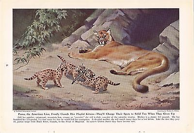 1943 Puma - Mountain Lion - Cougar King of Cats Vintage Walter Weber Print