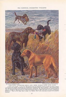 1937 Labrador Retrievers Chesapeake Bay Retriever Hunting Dogs Miner Print