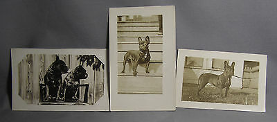 3 RPPC 1908-20 French Bulldog Frenchie Dogs Brindle Female Studded Collar Canada