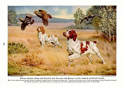 Vintage 1947 National Geographic Walter A Weber Brittany Spaniels Dog Print
