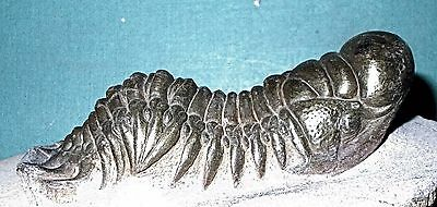 Fine complete pyritised Crotalocephalina gibba: Lower Devonian of  Morocco
