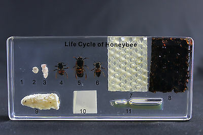 Honeybee Lifecycle In Lucite Insect Desktop Resin Paperweight Boxed N15