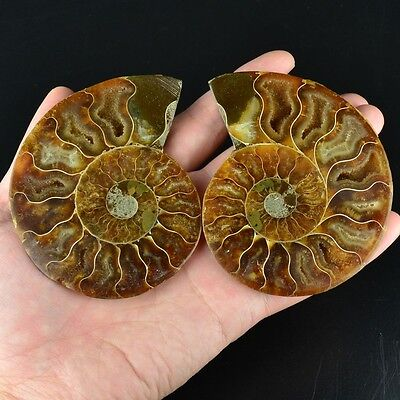 L12251 A pair Ammonite ammolite UNIQUE Natural fossil decoration 157g