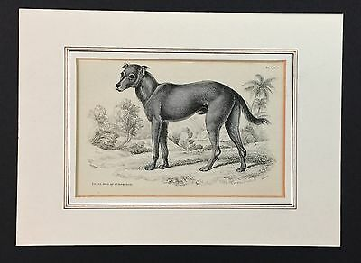 "Original Stahlstich ""Hund Feral Dog of St. Domingo"" ca. 1840"