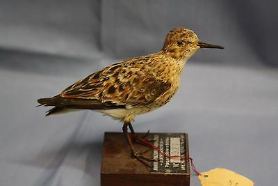 Taxidermy-hunting-chasse-präparat- Little Stint with permit