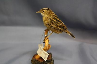 Taxidermy-hunting-chasse-präparat- Zitting Cisticola with permit