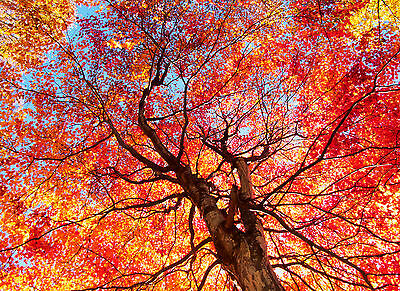 10 Acer rubrum / Red Maple 2-3ft Tall Trees, Stunning Autumn Colours