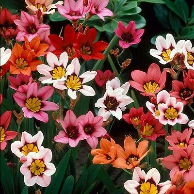 20 x Mixed Sparaxis Bulbs. Easy to grow. Spring Flowers Harlequin Flowers