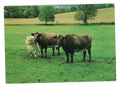 Postcard, Shorthorn Cows and Calf