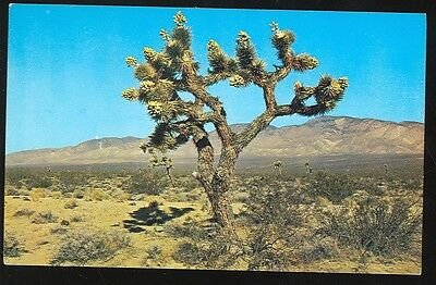 Joshua Tree with Seed Pods (unposted(Trees556