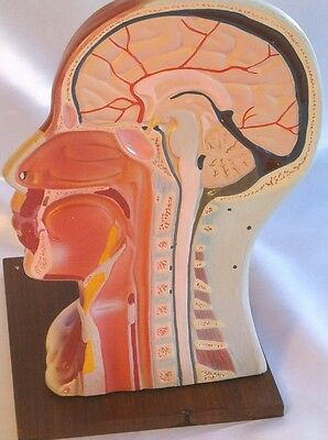 Lifesize human head neck anatomical anatomy model New